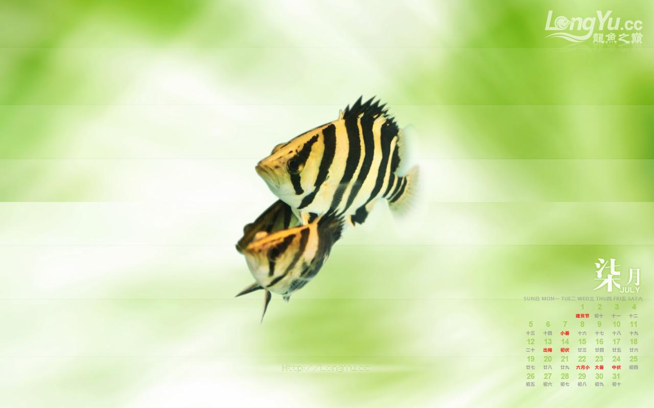 2009年7月份精美龙鱼桌面壁纸下载! 绵阳水族批发市场 绵阳水族批发市场第10张