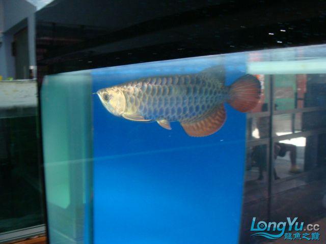 聚龙阁的黑金金头过背珍藏版。请分享。 绵阳龙鱼论坛 绵阳水族批发市场第2张