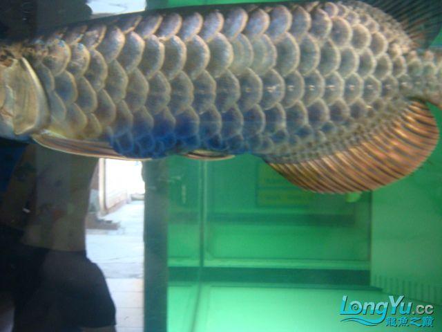 聚龙阁的黑金金头过背珍藏版。请分享。 绵阳龙鱼论坛 绵阳水族批发市场第7张