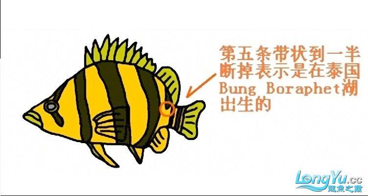 来个有关泰虎的详细特点说明,申请加精! 绵阳龙鱼论坛 绵阳水族批发市场第1张