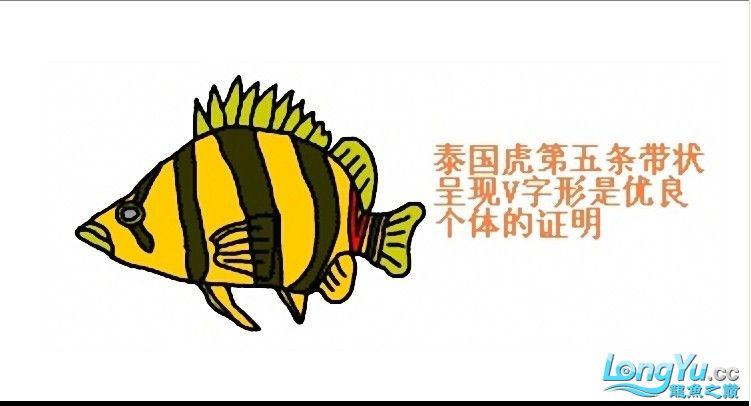 来个有关泰虎的详细特点说明,申请加精! 绵阳龙鱼论坛 绵阳水族批发市场第2张
