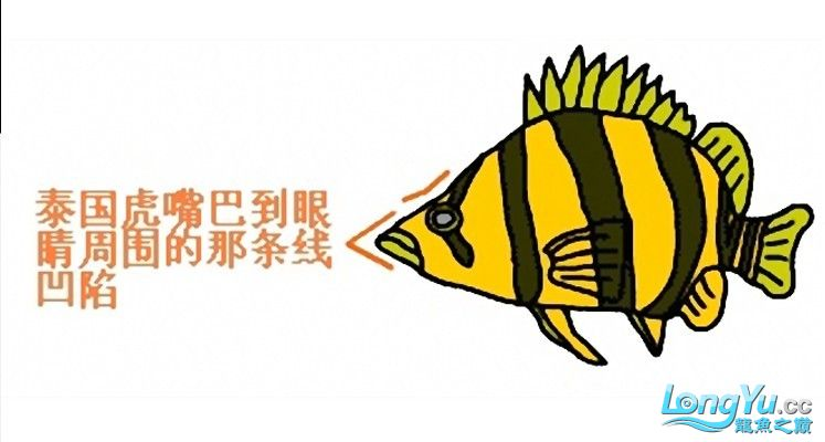 来个有关泰虎的详细特点说明,申请加精! 绵阳龙鱼论坛 绵阳水族批发市场第3张