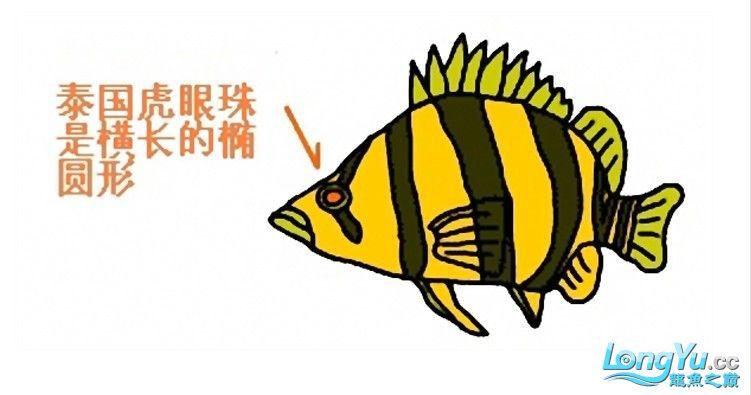 来个有关泰虎的详细特点说明,申请加精! 绵阳龙鱼论坛 绵阳水族批发市场第4张