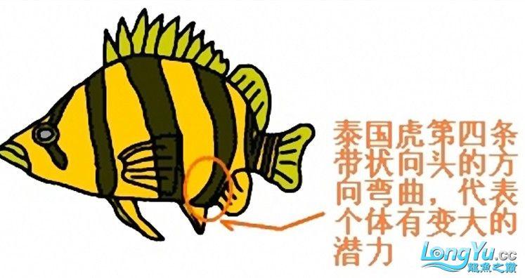 来个有关泰虎的详细特点说明,申请加精! 绵阳龙鱼论坛 绵阳水族批发市场第5张