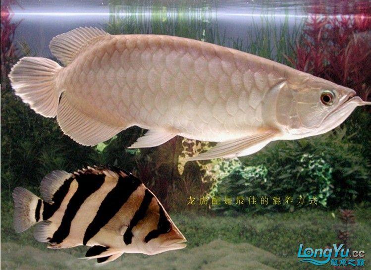 来个有关泰虎的详细特点说明,申请加精! 绵阳龙鱼论坛 绵阳水族批发市场第6张