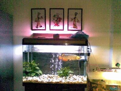 欣赏一下我家的龙宝宝 绵阳龙鱼论坛 绵阳水族批发市场第5张