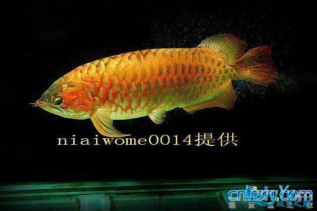 据说是40岁的老龙王 绵阳龙鱼论坛 绵阳水族批发市场第1张