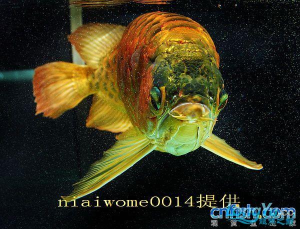 据说是40岁的老龙王 绵阳龙鱼论坛 绵阳水族批发市场第2张