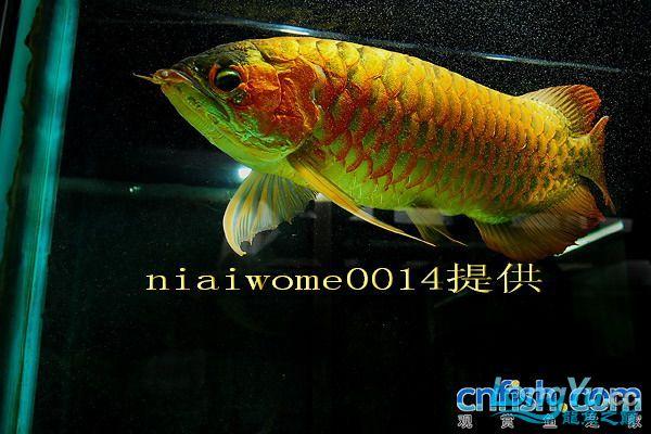 据说是40岁的老龙王 绵阳龙鱼论坛 绵阳水族批发市场第3张
