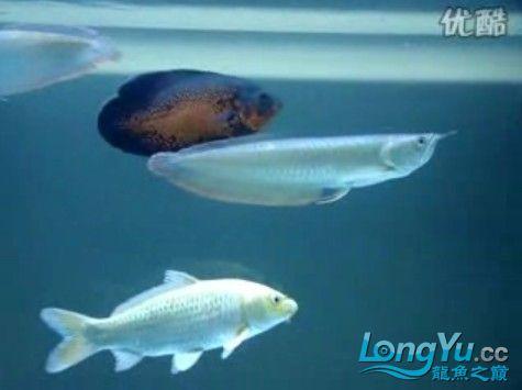 视频:好听的音乐伴你去欣赏龙的泳姿 绵阳龙鱼论坛 绵阳水族批发市场第4张