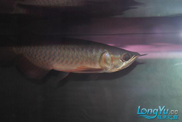 今天请的,请大家看看 绵阳龙鱼论坛 绵阳水族批发市场第1张