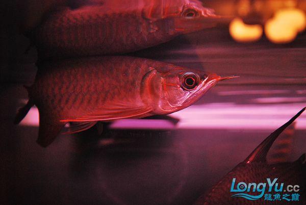 今天请的,请大家看看 绵阳龙鱼论坛 绵阳水族批发市场第4张