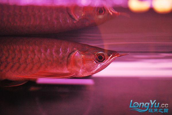 今天请的,请大家看看 绵阳龙鱼论坛 绵阳水族批发市场第5张
