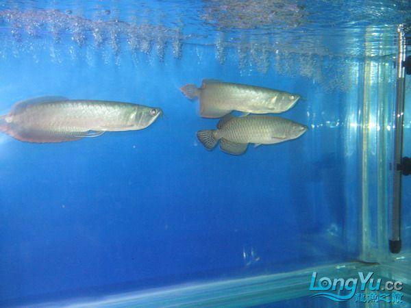 我的鱼不好 但是我很喜欢 绵阳龙鱼论坛 绵阳水族批发市场第2张