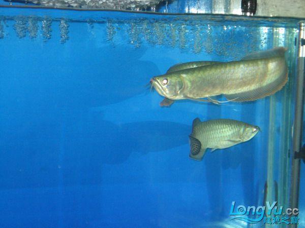 我的鱼不好 但是我很喜欢 绵阳龙鱼论坛 绵阳水族批发市场第3张