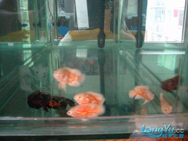 我的鱼不好 但是我很喜欢 绵阳龙鱼论坛 绵阳水族批发市场第5张