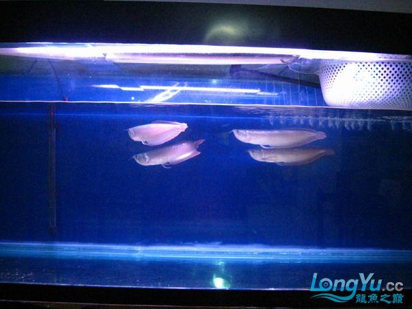 我的鱼不好 但是我很喜欢 绵阳龙鱼论坛 绵阳水族批发市场第6张