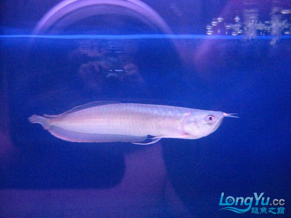 我的鱼不好 但是我很喜欢 绵阳龙鱼论坛 绵阳水族批发市场第8张