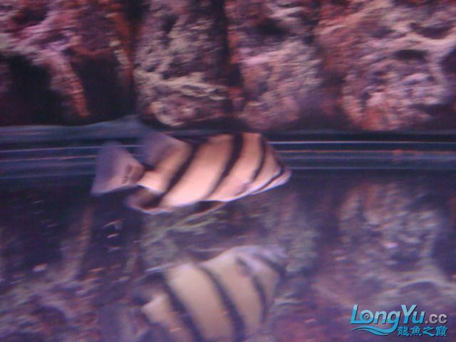 躲了3天的小虎可算出来了 绵阳龙鱼论坛 绵阳水族批发市场第2张