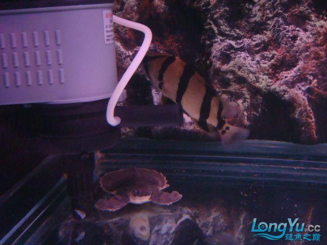 躲了3天的小虎可算出来了 绵阳龙鱼论坛 绵阳水族批发市场第3张