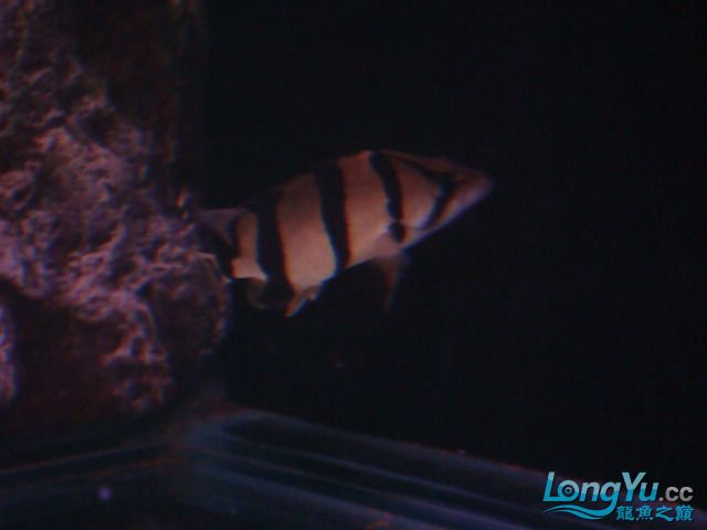 躲了3天的小虎可算出来了 绵阳龙鱼论坛 绵阳水族批发市场第6张