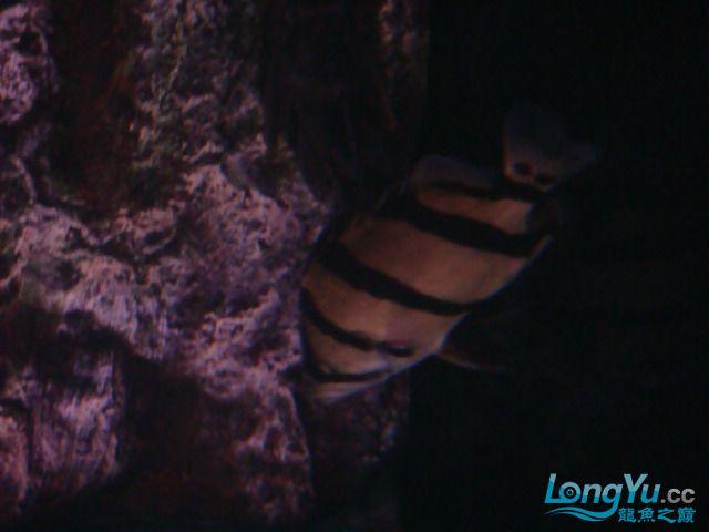 躲了3天的小虎可算出来了 绵阳龙鱼论坛 绵阳水族批发市场第7张