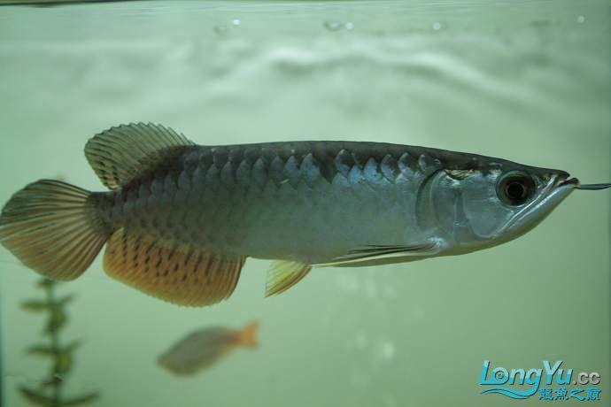 丁丁的鱼到家了 绵阳龙鱼论坛 绵阳水族批发市场第1张