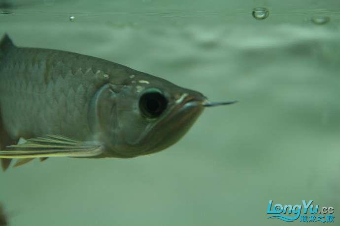 丁丁的鱼到家了 绵阳龙鱼论坛 绵阳水族批发市场第2张