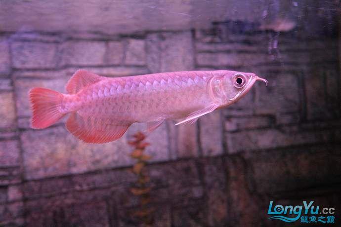 丁丁的鱼到家了 绵阳龙鱼论坛 绵阳水族批发市场第8张