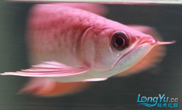 再得瑟下偶的小红 绵阳龙鱼论坛 绵阳水族批发市场第2张