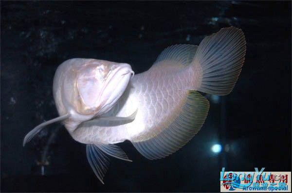 避免龙鱼掉眼睛该注意哪些方面 绵阳龙鱼论坛 绵阳水族批发市场第5张