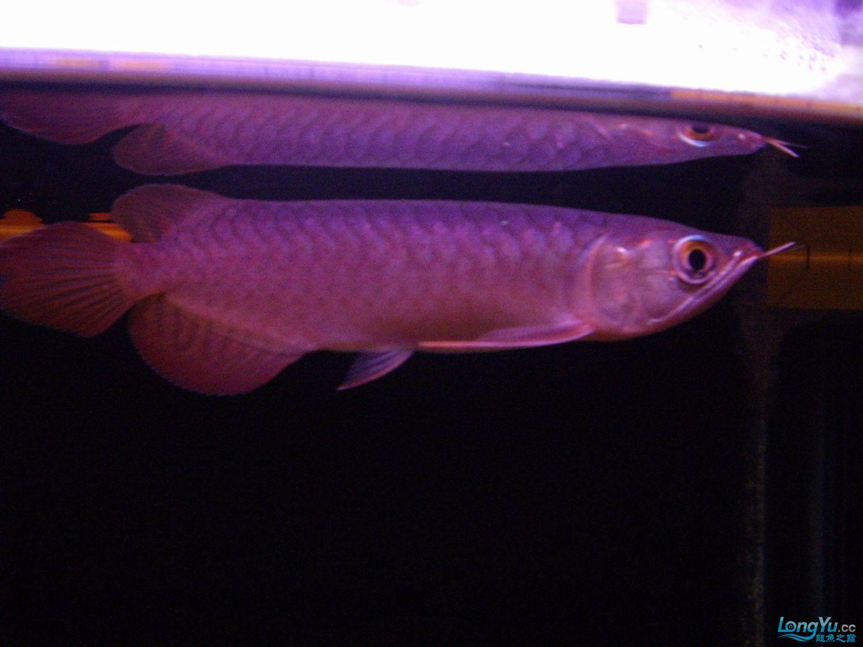鱼到家一星期了帮看看品质 绵阳水族批发市场 绵阳水族批发市场第7张