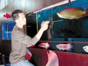 徐伟红和他的龙鱼 绵阳水族批发市场 绵阳水族批发市场第1张