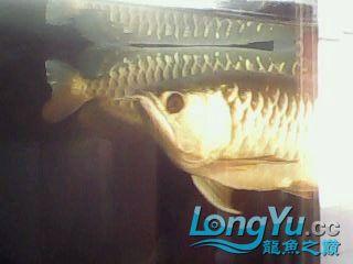 再看看我的高背 绵阳龙鱼论坛 绵阳水族批发市场第3张