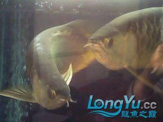 再看看我的高背 绵阳龙鱼论坛 绵阳水族批发市场第4张
