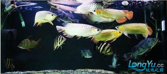 龙鱼混养大杂烩~~~~~~ 绵阳龙鱼论坛 绵阳水族批发市场第6张