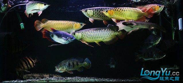 龙鱼混养大杂烩~~~~~~ 绵阳龙鱼论坛 绵阳水族批发市场第5张