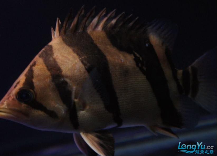 大家给鉴别一下是什么虎?印尼泰国虎? 绵阳龙鱼论坛 绵阳水族批发市场第2张