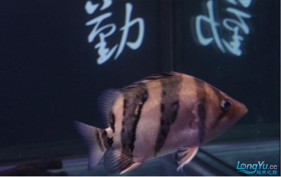 大家给鉴别一下是什么虎?印尼泰国虎? 绵阳龙鱼论坛 绵阳水族批发市场第1张