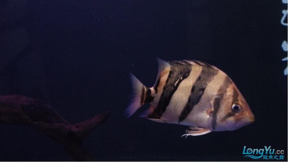 大家给鉴别一下是什么虎?印尼泰国虎? 绵阳龙鱼论坛 绵阳水族批发市场第3张