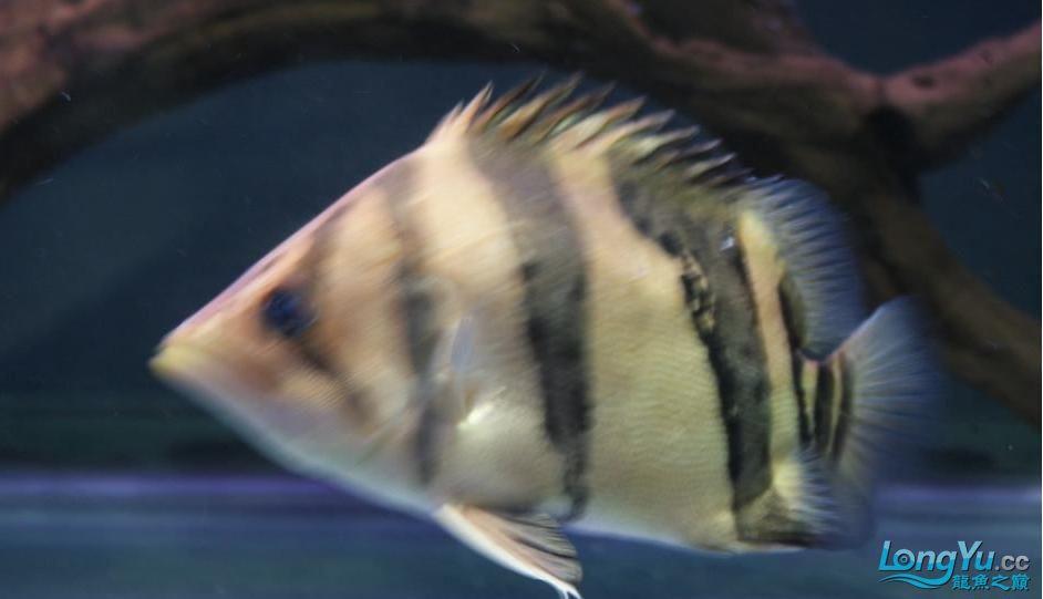 大家给鉴别一下是什么虎?印尼泰国虎? 绵阳龙鱼论坛 绵阳水族批发市场第7张
