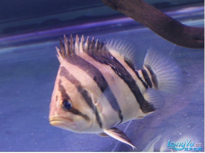 大家给鉴别一下是什么虎?印尼泰国虎? 绵阳龙鱼论坛 绵阳水族批发市场第8张