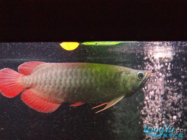 再发一个月的小龙照(2) 绵阳龙鱼论坛 绵阳水族批发市场第3张