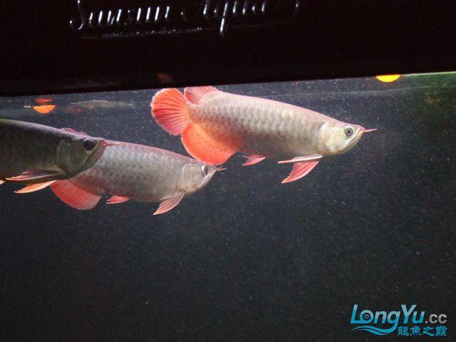 再发一个月的小龙照(2) 绵阳龙鱼论坛 绵阳水族批发市场第6张
