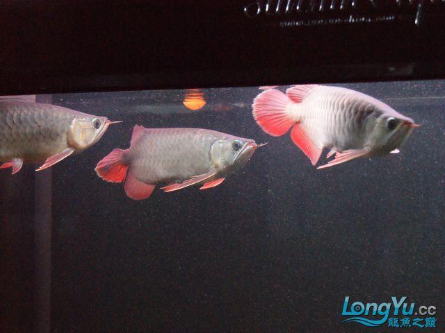 再发一个月的小龙照(2) 绵阳龙鱼论坛 绵阳水族批发市场第10张