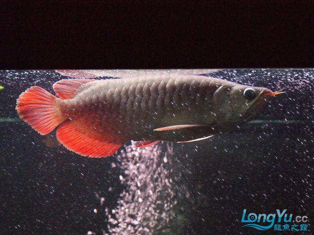 再发一个月的小龙照(2) 绵阳龙鱼论坛 绵阳水族批发市场第12张