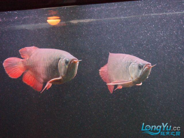 再发一个月的小龙照(2) 绵阳龙鱼论坛 绵阳水族批发市场第13张