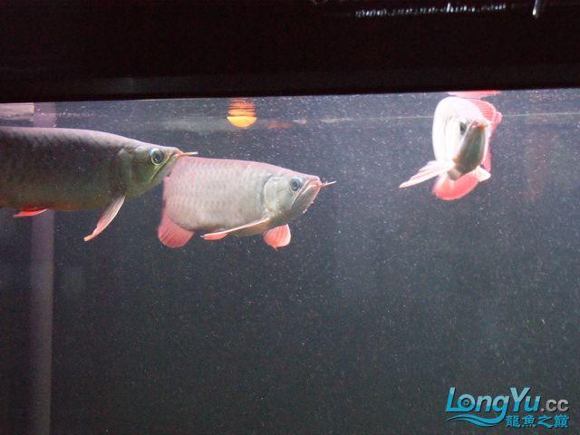 再发一个月的小龙照(2) 绵阳龙鱼论坛 绵阳水族批发市场第11张
