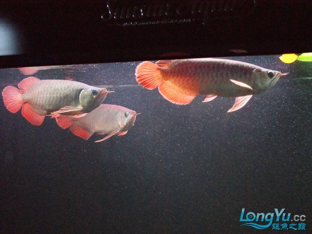再发一个月的小龙照(2) 绵阳龙鱼论坛 绵阳水族批发市场第15张
