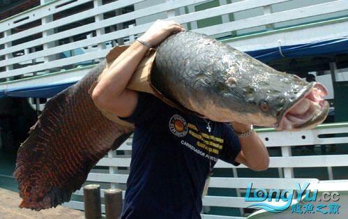 被偷捕的海象 绵阳龙鱼论坛 绵阳水族批发市场第1张